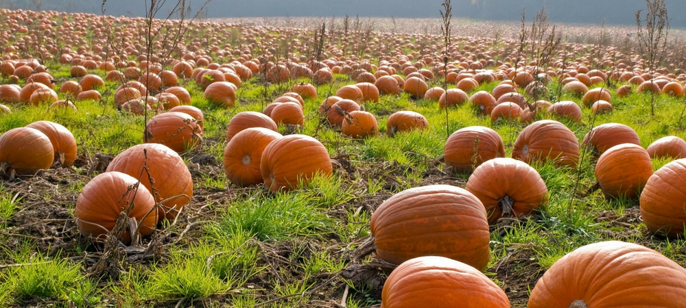 pumpkins in a pumpkin patch you can see with quick cash payday loan